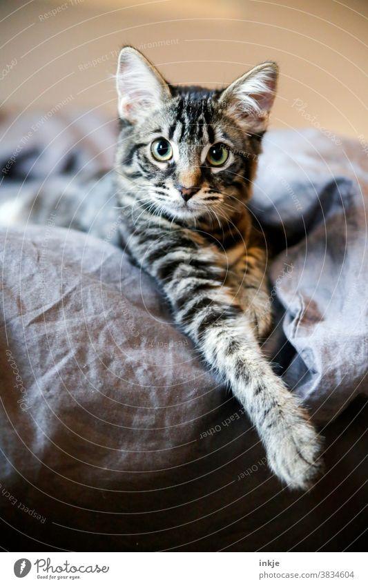 kleiner Kater schaut ziemlich niedlich aus der Wäsche Farbfoto Innaufnahme Nahaufnahme Tierportrait Katze Tierportrait Katzenportrait Kätzchen Babykatze weich