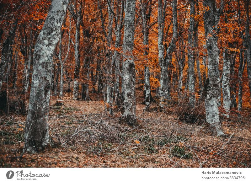 Herbstwald mit orangefarbenen Blättern Herbst-Vibes Hintergrund schön hell Farbe farbenfroh Umwelt fallen Laubwerk Wald Frischluft golden grün Landschaft Blatt