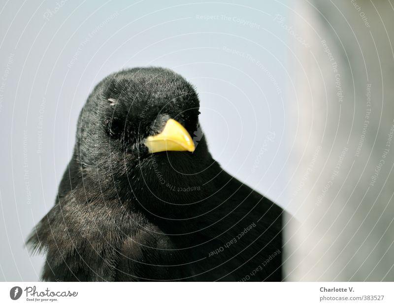 Bergdohle blau schön ruhig Tier schwarz gelb grau braun Vogel glänzend nachdenklich Wildtier warten Feder beobachten Freundlichkeit