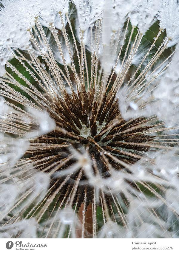 Letzter Flieger - Pusteblume mit Wassertropfen Pflanze Natur Blume Blüte weiß Farbfoto Menschenleer Nahaufnahme Detailaufnahme Umwelt Herbst Tau Löwenzahn