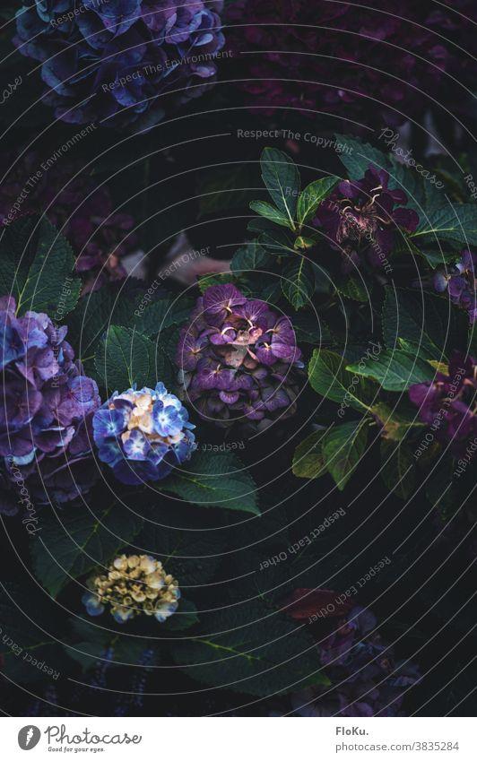 verwelkende Hortensie Blume Hortensienblüte Pflanze Farbfoto Blüte Natur Nahaufnahme Blühend Außenaufnahme Detailaufnahme Makroaufnahme Garten Menschenleer
