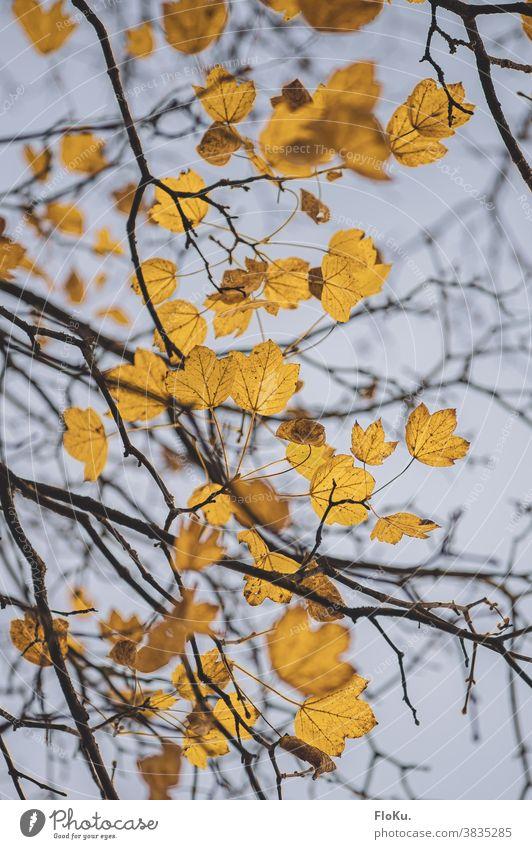 Gelbes Laub gegen Herbsthimmel Herbststimmung Blätter Ast Äste Zweige gelb Herbstlaub Baum Baumkrone Natur Umwelt Pflanze trist schlechtes Wetter Zweige u. Äste