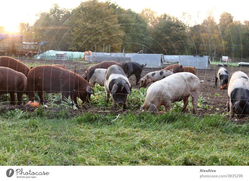 Eine Horde bunter Hausschweine wühlt durch frisches Grün und Kürbisse in ihrem Auslauf Schweine Haustier Tiere Weide Schweineweide Schweinemast natürlich