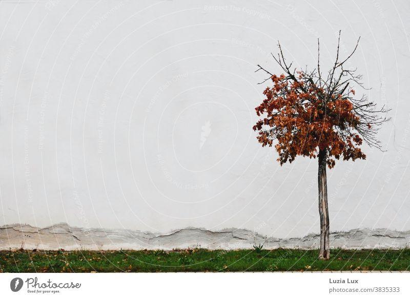 Goldener Herbst: ein einsamer Zierahorn mit herbstlichem Laub steht vor einer brökelnden Fassade karg Hauswand Herbstlaub orange braun urban Außenaufnahme