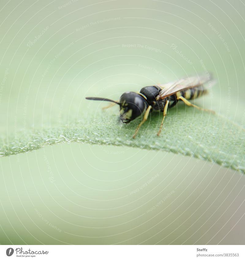 kleine Wespe erkündet ein Blatt Jungtier Insekt hellgrün Pastelltöne Fühler Lebewesen Leben Tierporträt Hintergrund neutral Natur Schwache Tiefenschärfe