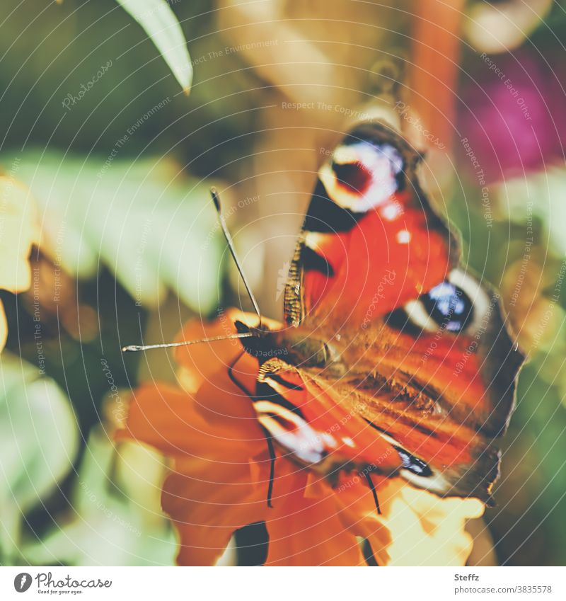 Schmetterling in schönem Herbstwetter Oktober warme Farben Falter Herbstbeginn goldener Oktober Herbstanfang Tagetes bunte Flügel Herbstblume Studentenblume