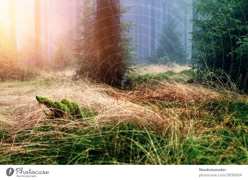 Sonnenstrahlen in einem nebligen Wald Sinne Stimmung weich Licht Morgengrauen Tag Menschenleer Kontrast Außenaufnahme Farbfoto ruhig Idylle Wildnis Einsamkeit