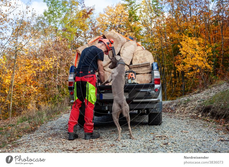 Gemeinsam mit Hund bei der Arbeit im Wald mann hund weimaraner jagdhund freunde partner verspielt waldarbeit forstarbeit forstarbeiter brennholz kaminholz auto