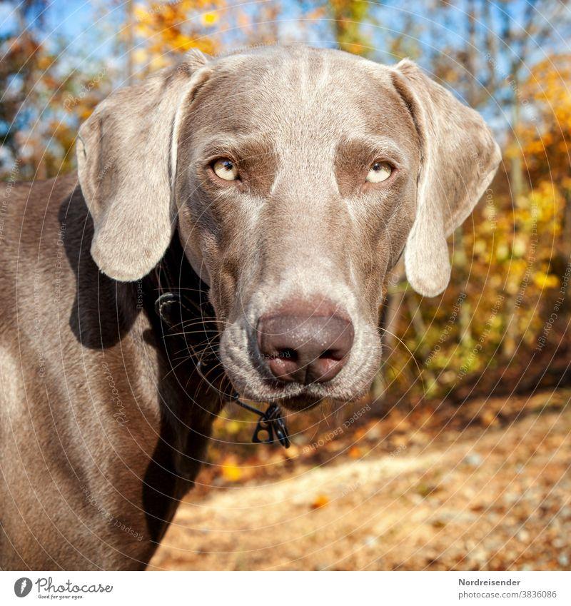 Portrait von einem jungen Weimaraner Jagdhund weimaraner jagdhund hundezucht vorstehhund therapiehund wald waldlichtung waldwiese deutschland hundeausbildung