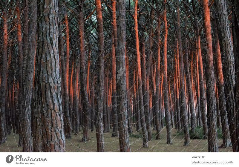 Lichterscheinung Wald Bäume Pinienkern Sonnenuntergang Wiederholung Menschenleer Waldstimmung Farbenspiel