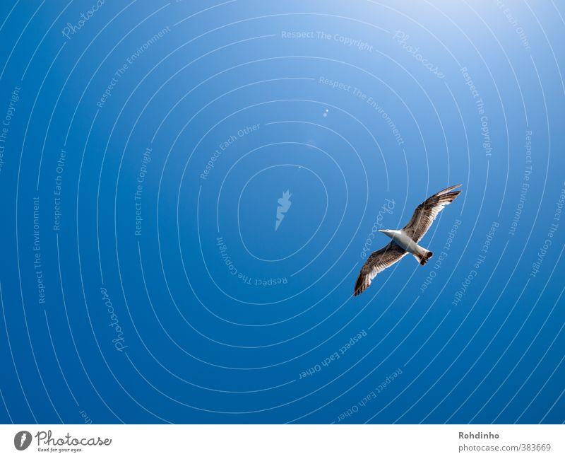 Bird flying high Umwelt Natur Luft Himmel nur Himmel Wolkenloser Himmel Sonne Sommer Schönes Wetter Küste Tier Wildtier Vogel Möwe Möwenvögel 1 Freiheit Ferne