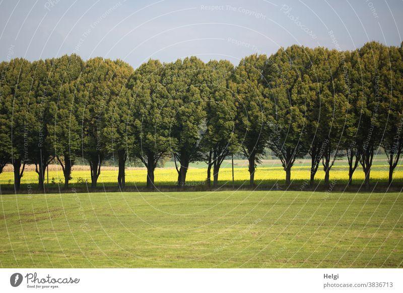 Allee mit Wiese im Vordergrund, Feld mit gelb blühendem Senf im Hintergrund Baum Reihe Baumallee Senfblüte Himmel Natur Umwelt Dorf Landschaft Außenaufnahme