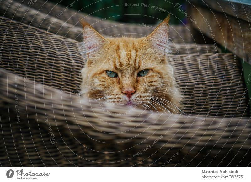 Katze sitzt im Korbstuhl Maine Coon Fell Rassekatze Langhaarige Katze Haustiere fluffig katzenhaft Ein Tier schön Porträt niedlich Ohrbüschel im Freien