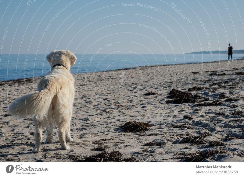 Golden Retriever erkennt den Menschen Hund Strand Sand Küste Meer Tier Haustier Farbfoto Außenaufnahme Natur Tierporträt Freude Glück Fröhlichkeit niedlich