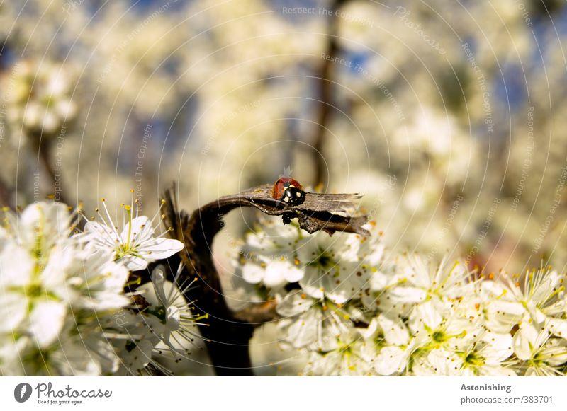 Marienkäfer Himmel Natur blau weiß Pflanze Sonne Baum rot Landschaft Tier schwarz Umwelt Wärme Frühling Holz Blüte