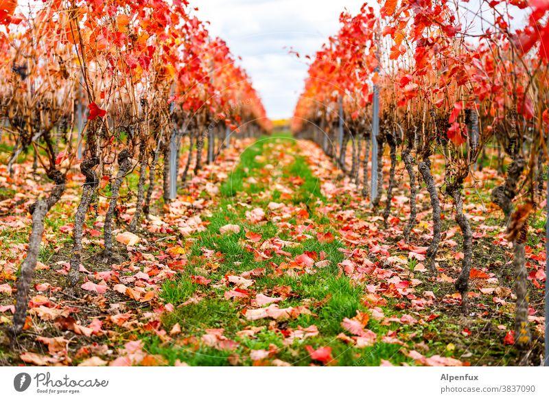 Herbst in Rheinhessen Jahreszeiten Oktober Klima mehrfarbig Herbstbeginn Natur Herbstlaub Blatt Herbstfärbung herbstlich Umwelt Tag Licht Außenaufnahme