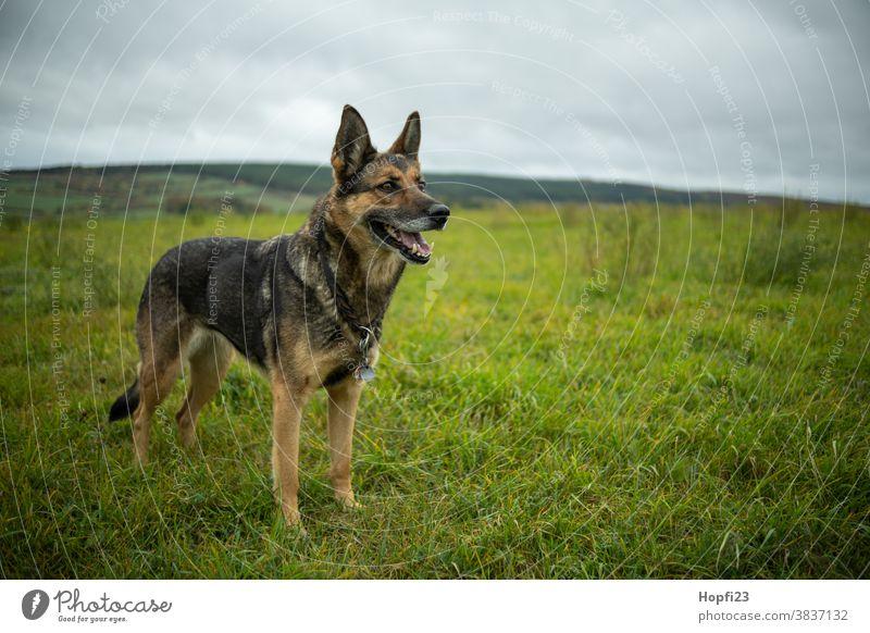 Deutscher Schäferhund auf einer Wiese Hund Haustier Tier Farbfoto Tierporträt Außenaufnahme Fell 1 niedlich Blick Menschenleer Tag Wachsamkeit Schutz Landschaft