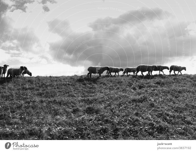 pflegende Schafe auf dem Deich Deichkuppe Deichschaf Gras Natur Sommer Wiese Nutztier Deichpflege bewölkter Himmel Wolken Schafherde Viehhaltung Viehzucht Herde