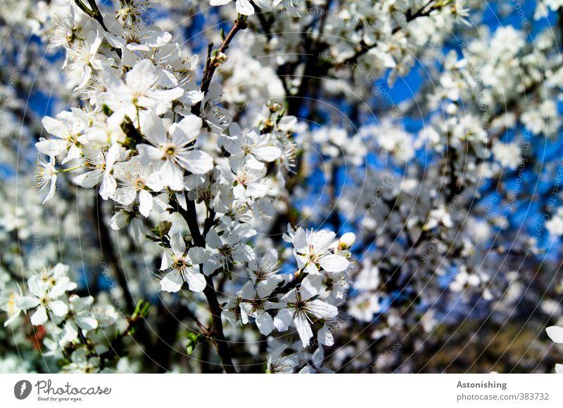Blüten Himmel Natur blau weiß Pflanze Baum Landschaft schwarz Wald Umwelt Frühling hell Park Sträucher Ast