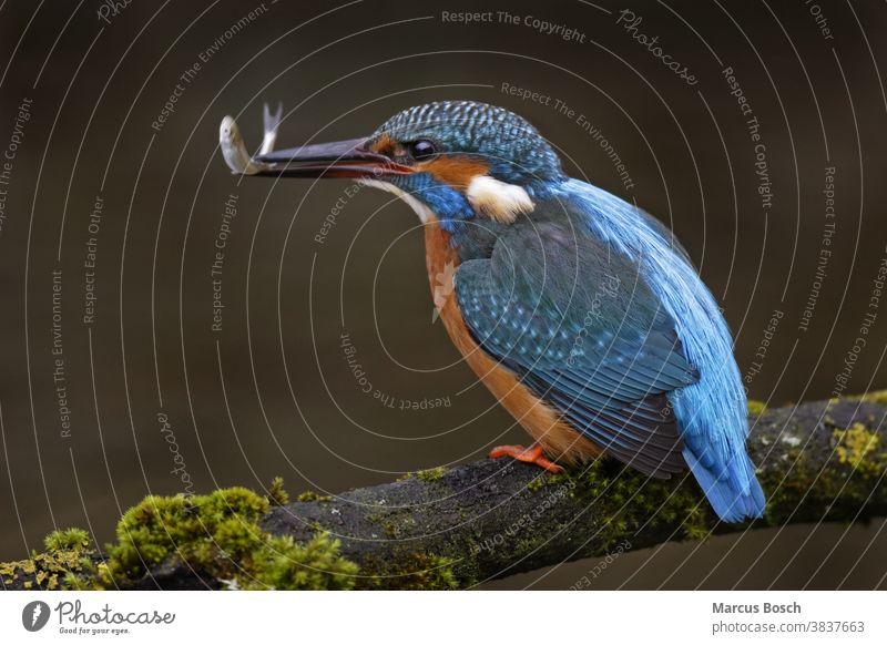 Eisvogel, Alcedo atthis, Eisvogel Alcedinidae alcedo allgemein Edelstein Eisvoegel Eurasischer Eisvogel Futter Deutsch Juwel Vögel ast in diesem Fall Beute