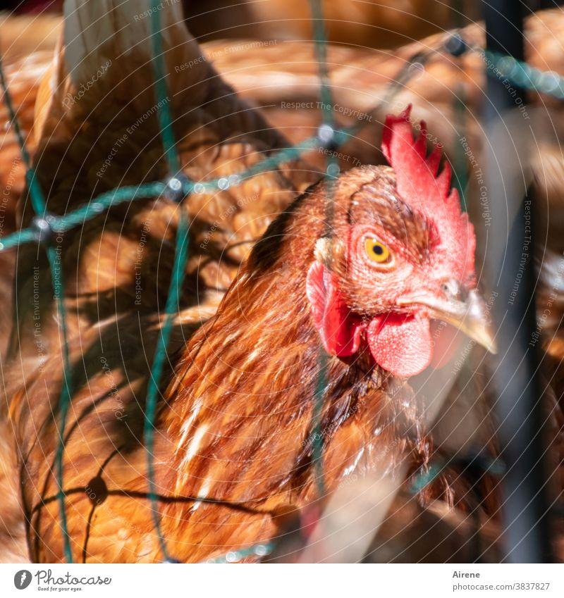 frei ist relativ Huhn gefangen Neugier rot braun Zaun Maschendraht Drahtgitter Glucke Netz Tiergesicht Durchblick Bauernhof Haushuhn Gefangenschaft eingesperrt
