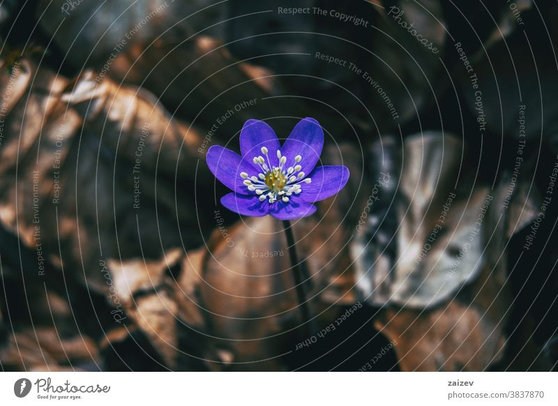 Nahaufnahme einer isolierten violetten Blüte der Anemone hepatica Anemonenhepatitis gemeinsame Hepatitis Leberblümchen Nierenkraut Pfennigkraut Ranunculaceae
