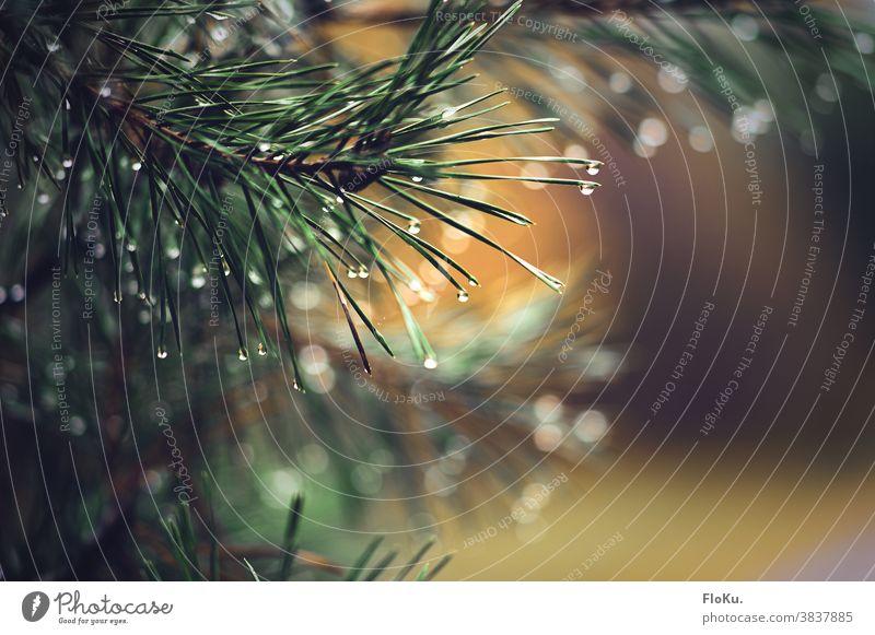 Tannenzweig mit Regentropfen Tropfen Wasser Natur Zweig Zweige u. Äste Pflanze Wassertropfen Außenaufnahme Detailaufnahme Schwache Tiefenschärfe Wetter Umwelt