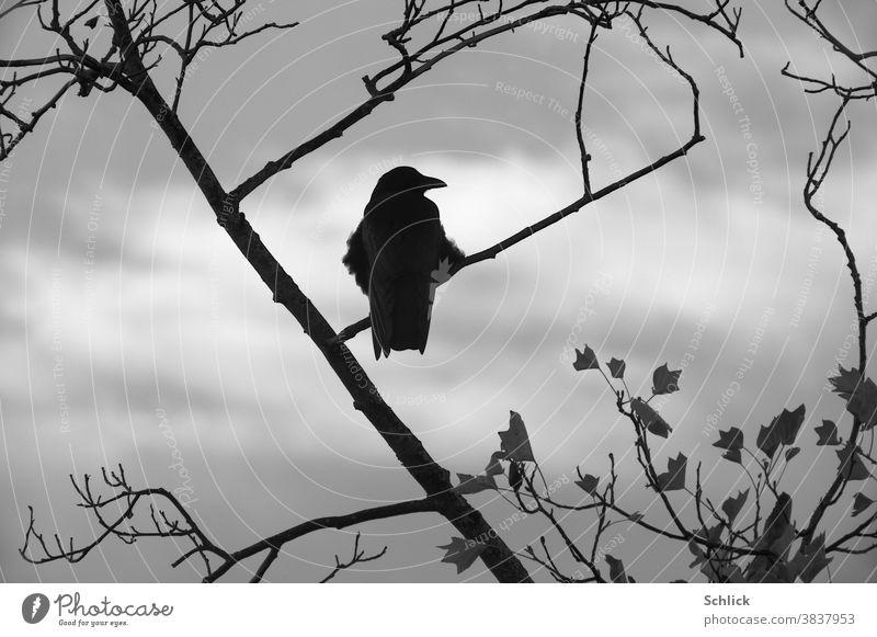 Krähe auf Zweigen mit letzten Blättern im Herbst Rückansicht schaut nach rechts letzte blätter Ast Vogel Himmel bewölkt grau Tulpenbaum ein einer aufgeplustert