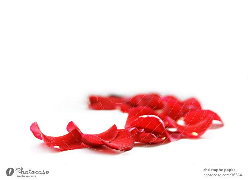 rosenblätter schön rot Blatt Gefühle Blüte hell Dekoration & Verzierung Romantik Rose Kitsch Zeichen Leidenschaft Duft Verliebtheit Freisteller Blütenblatt