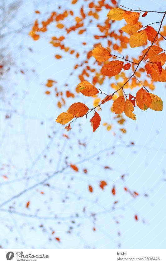 Orange(n)baumblätter, hängen in der Luft... orange Indian Summer Blätter Blätterdach Herbst herbstlich Herbstfärbung Herbstlaub Herbstbeginn Herbstwald