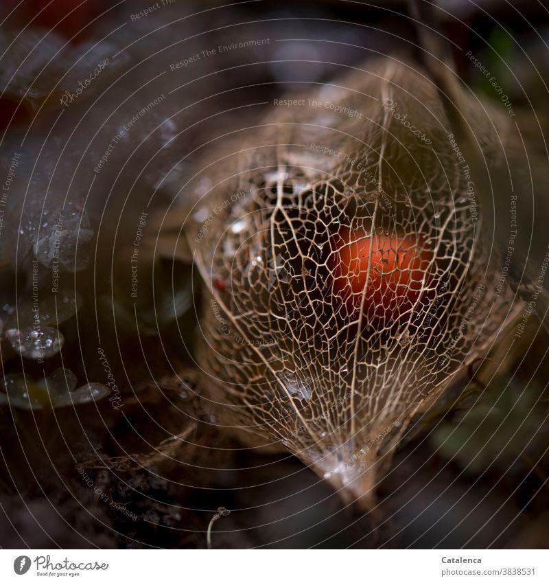 In einem filigranem Netz geschützt liegt die Beere der Physalis Natur Flora Pflanze Lampionblume Frucht Samen vertrocknen Vergänglichkeit Design Orange Garten