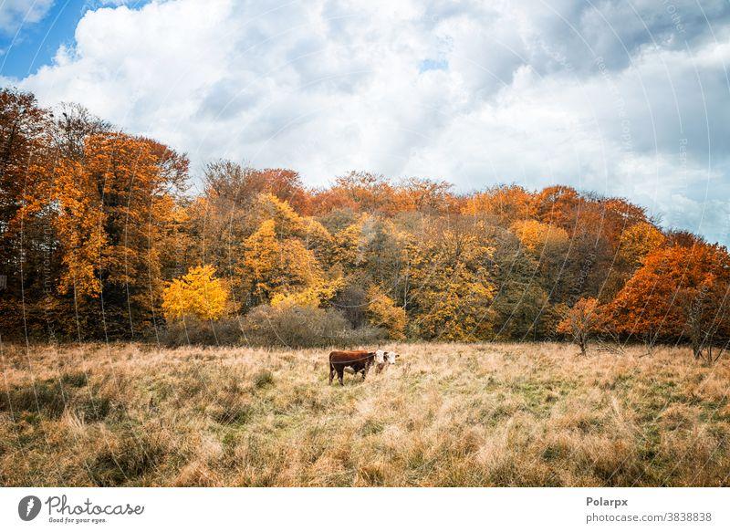 Zwei Hereford-Kühe auf einer Wiese im Herbst Wald Freilauf Wälder Ranch Landwirt Umwelt farbenfroh Stehen Saison ländlich Schwarm im Freien heimisch Ackerland
