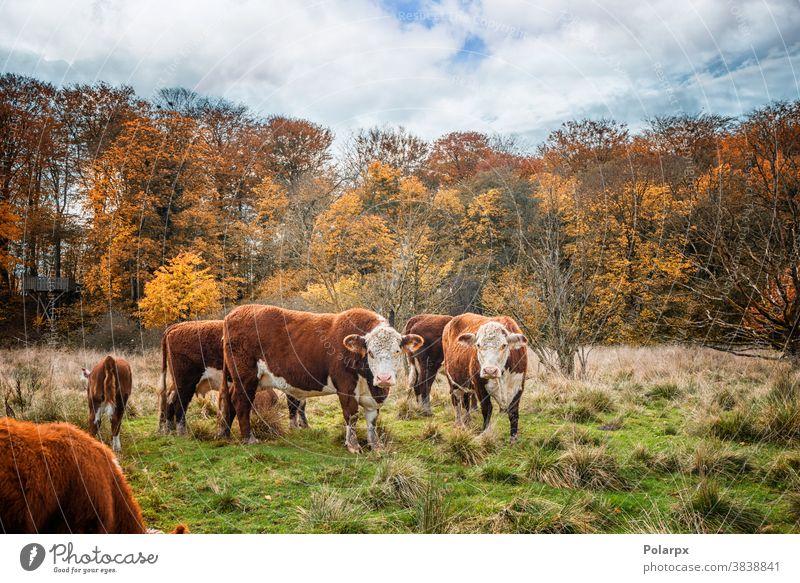 Hereford-Rinderkühe im Herbst Kühe Wald Wiese Freilauf Wälder Ranch Landwirt Umwelt farbenfroh Stehen Saison ländlich Schwarm im Freien heimisch Ackerland