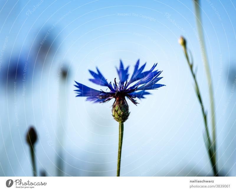Kornblume himmelblau Himmel frisch Wiese Landschaft rein Frühling Unendlichkeit Park Umweltschutz Sommer Sonne Blüte Natur Pflanze Blume Blühend Duft