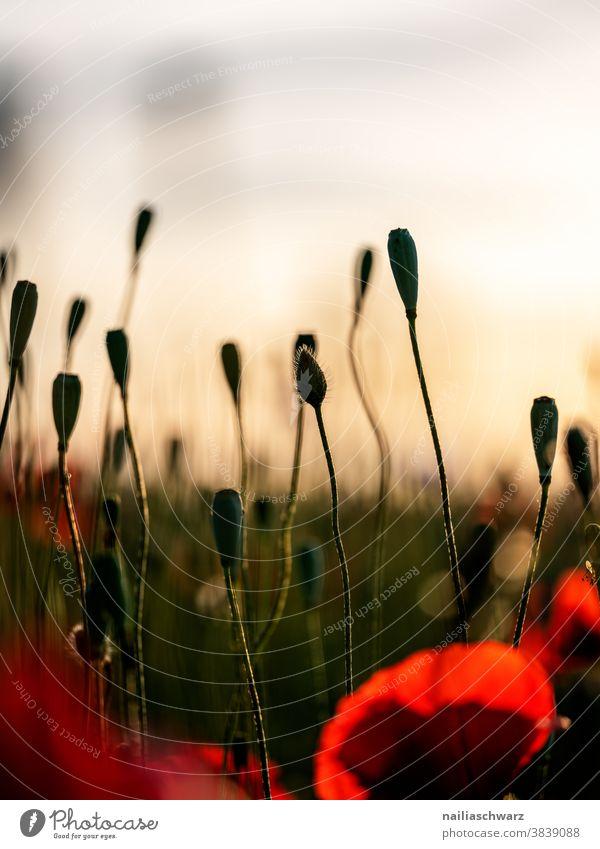 Mohnfeld verwelkn Vergänglichkeit Farbfoto tag sonnig Blumenbeet himmel mohnkapseln frühlingswiese sommerlich Blumenwiese Wiesenblume rot grün friedlich