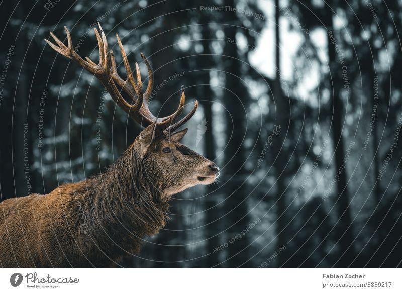 Hirsch im Allgäuer Winterwald Deutschland Europa Hirsche Schwangau Tiere Wald Wildlife Geweih Hirschgeweih Rotwild Bäume Nadelwald Baumstamm Tierporträt