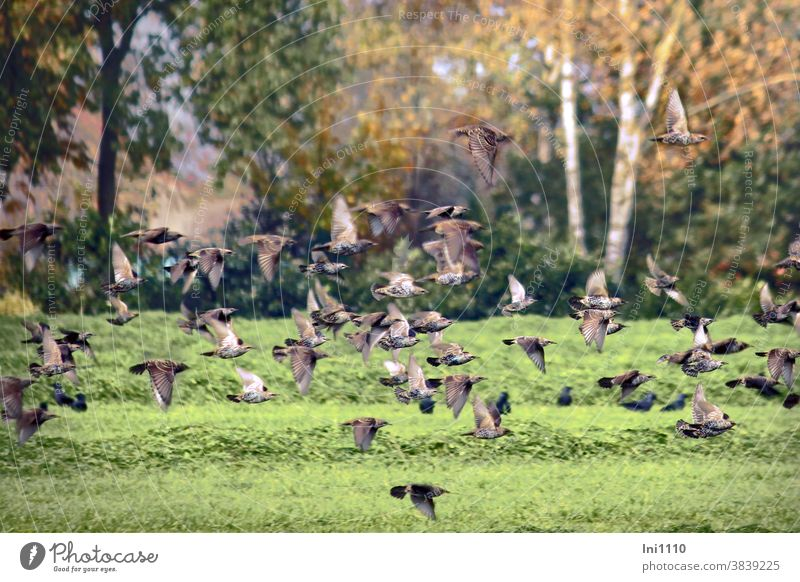 Stare im Tiefflug über eine Wiese Vögel Sturnus vulgaris Starenschwarm Gefieder Perlmuster weiße Punkte Federn Flugübungen Trupp Gemeinschaft Singvogel Zugvogel