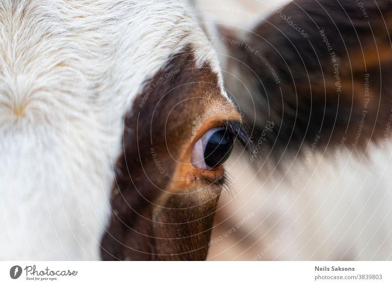 Auge einer braunen und weißen Kuh Ackerbau Tier Hintergrund Rindfleisch blau bovin schließen Nahaufnahme Cloud Landschaft niedlich Molkerei heimisch Ohr Gesicht