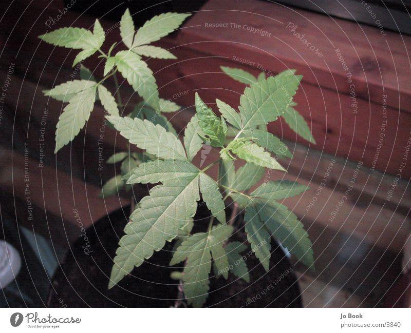 Cannabis Plants grün Pflanze Blatt Rauschmittel Hanf