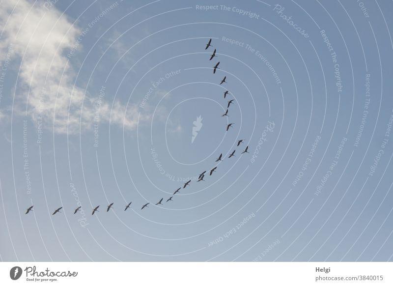 ab in den Süden - viele Kraniche fliegen vor blauem Himmel mit Wölkchen in Richtung Süden Vogel Zugvogel Vogelzug Wolken Vogelbeobachtung Kranichbeobachtung