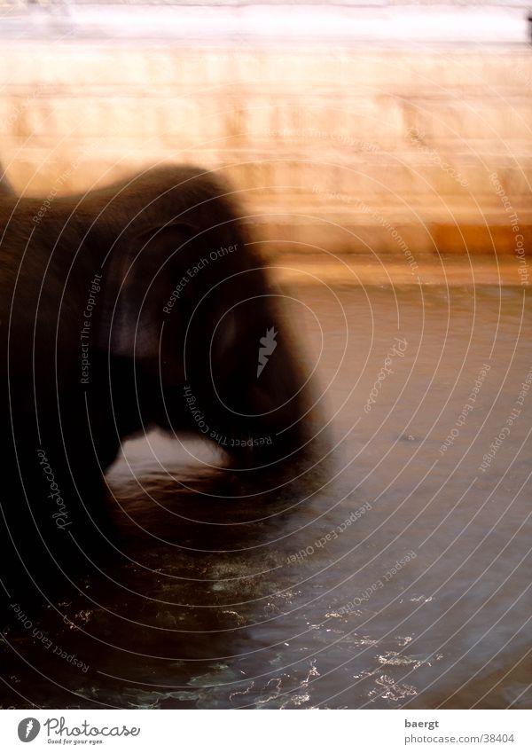 Törööö... blubb grau groß Schwimmen & Baden Zoo Indien Elefant
