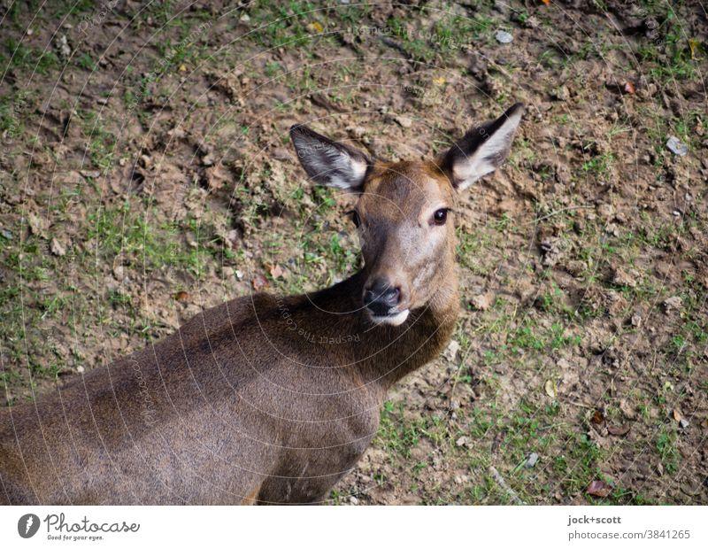 Lauscher mit Rehblick dreht sein Haupt Tiergesicht 1 Wachsamkeit Mittelpunkt Tierporträt Blick in die Kamera Blick nach hinten Vogelperspektive Wildtier