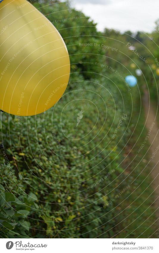 Mit Luftballons dekorierter Weg, der durch Hecken begleitet ist Garten Party Fest gelbe blaue Dkoration Feiern draußen Außenaufnahme Feste & Feiern Farbfoto