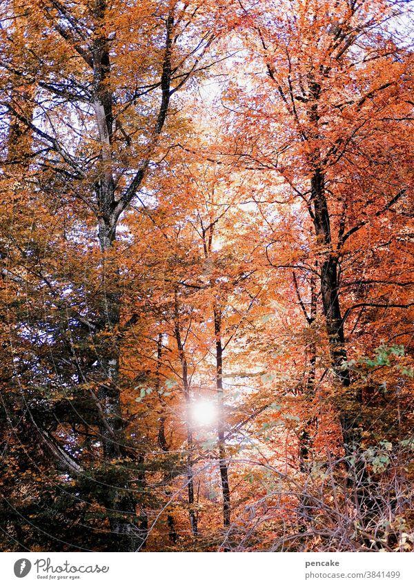 herbstglühen Bäume Buche Wald Herbstfarben Blätter Sonne orange rot Herbstlaub herbstlich Herbstwald Herbstfärbung Sonnenlicht Glut Wärme