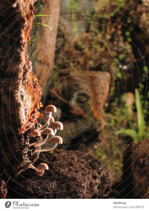 Pilz Gruppe Nahaufnahme Psylos Myzel Mushrooms