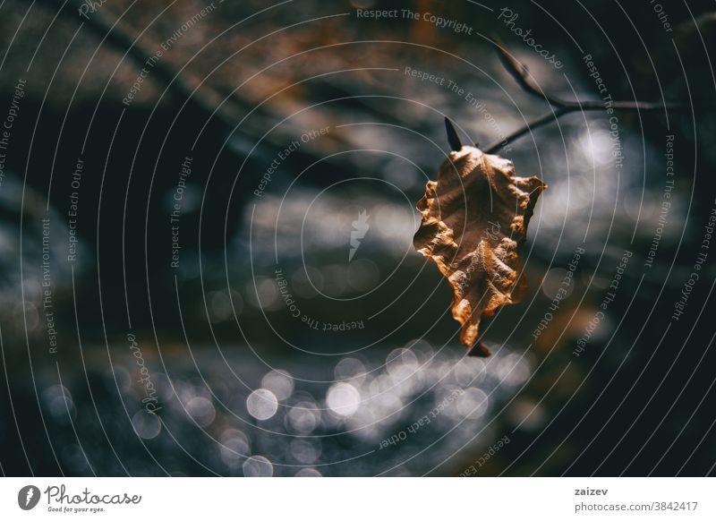 Nahaufnahme eines isolierten, getrockneten und zerknitterten Fagusblattes fagus Buchsbaum fagaceae Brennholz Holz Cellulose Blatt trocknen Tod Venen Aderlass