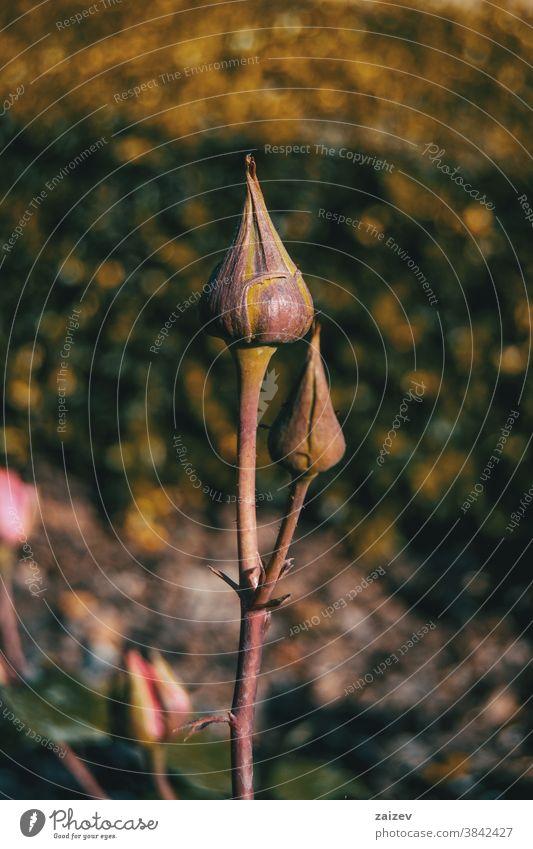 Nahaufnahme von zwei Rosenknospen in der Natur Roséwein Knospen Sprossen Blütezeit Überstrahlung blühende zugeklappt Vorbau Stengel Stacheln spined Rosaceae