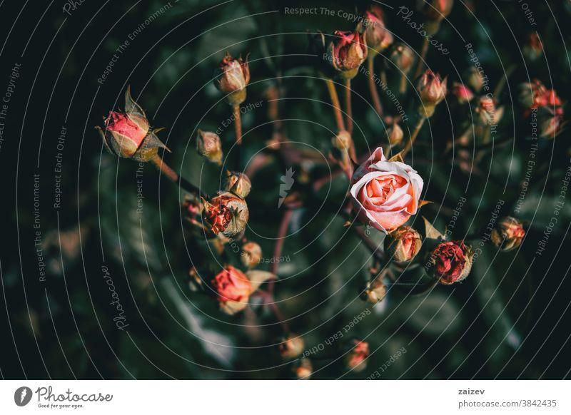 Nahaufnahme einer rosafarbenen Rose, die in einem Bund voller Knospen blüht Roséwein Rosaceae ornamental Gärten Schnittblumen wirtschaftlich Duftwasser essbar