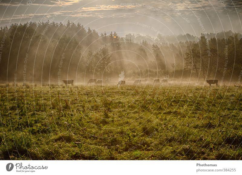 Kühe im Morgennebel Umwelt Natur Landschaft Tier Schönes Wetter Nebel Baum Gras Wiese Feld Deutschland Menschenleer Nutztier Kuh Herde Fressen Gesundheit braun