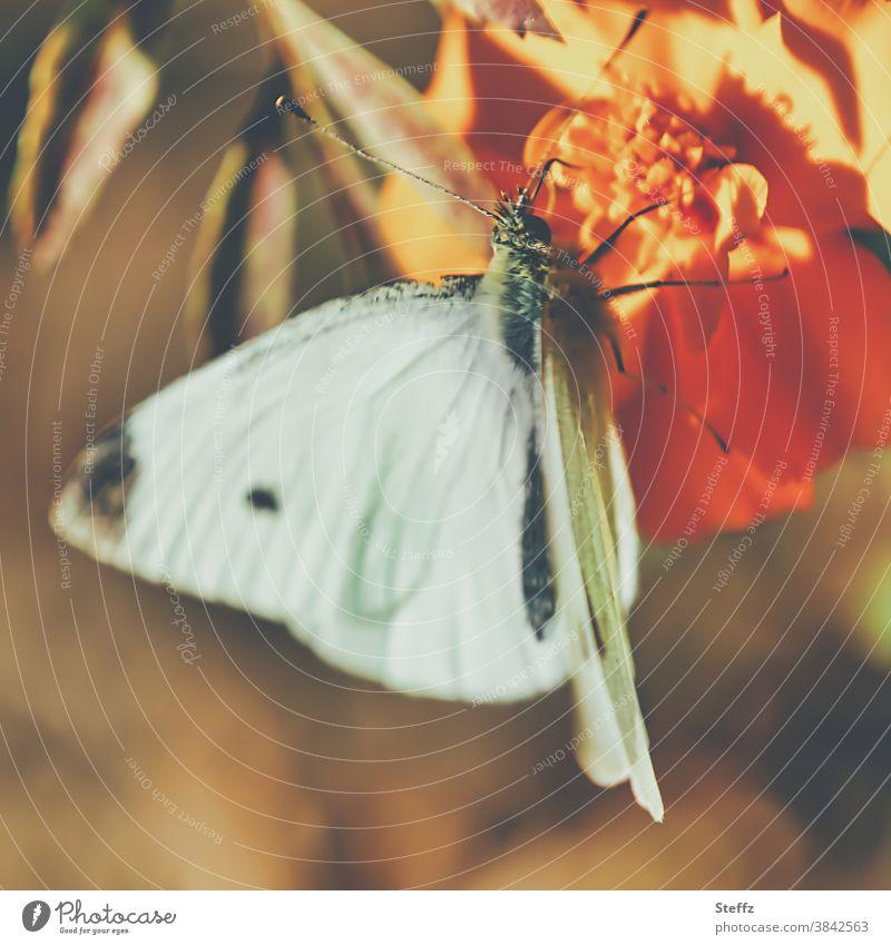 Schmetterling und seine Herbstwärme Kleiner Kohlweißling Pieris rapae Falter Weißling goldener Oktober sonniger Herbst Herbstbeginn leicht Oktobersonne
